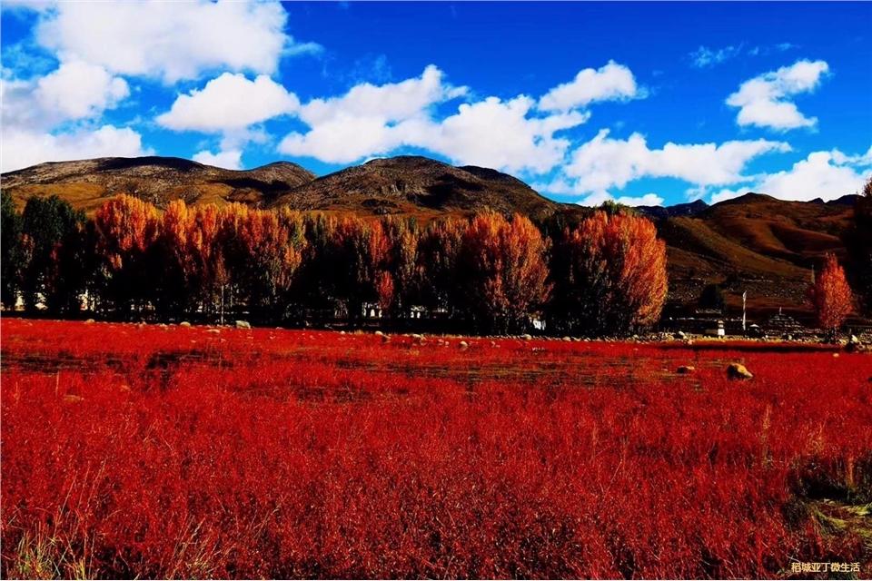 稻城十月的红草地依然鲜艳夺目(摄影:黄晓琼)