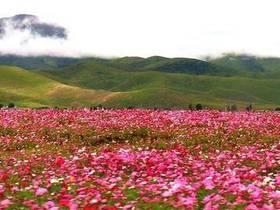 初秋,盛开的格桑花(摄影:飘零的枫叶)