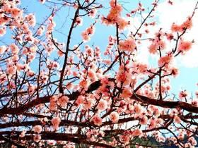 三月,稻城香格里拉镇的桃花(摄影:飘零的枫叶)